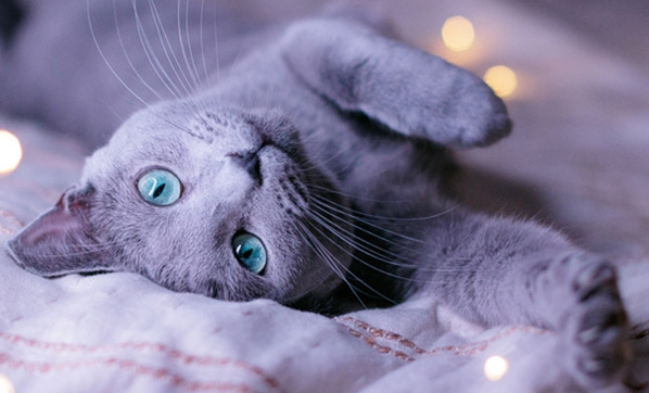mavi rus kedisinin özellikleri