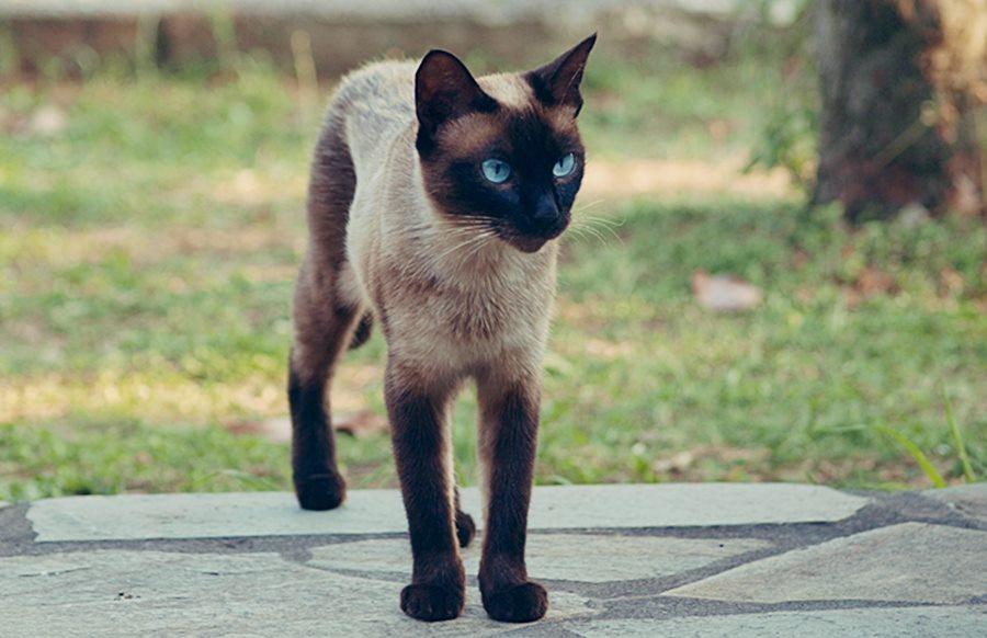 siyam-kedisi-özellikleri